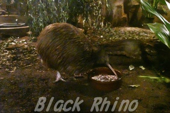 キーウィ4 天王寺動物園