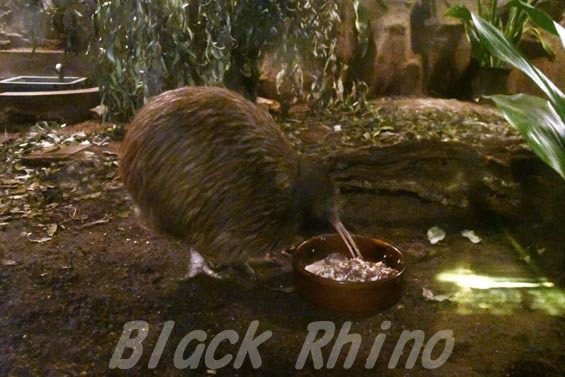 キーウィ5 天王寺動物園