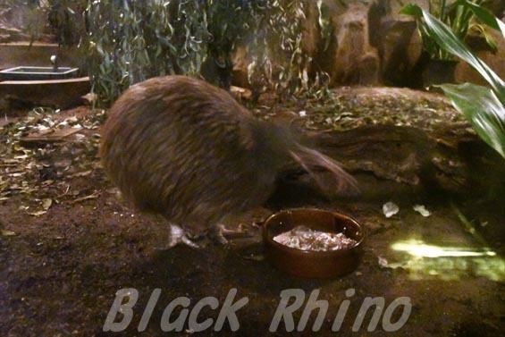 キーウィ6 天王寺動物園