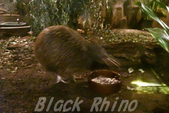 キーウィ7 天王寺動物園