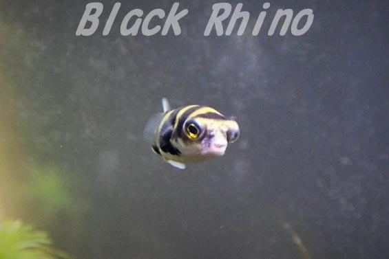 南米淡水フグ1 海響館