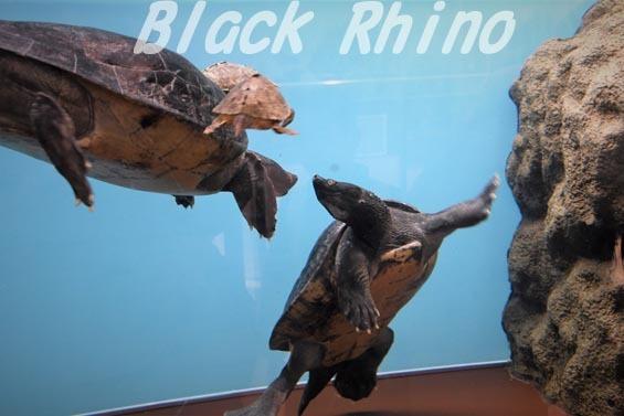 バタグールガメ3 野毛山動物園