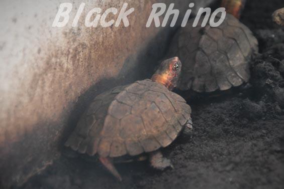 リュウキュウヤマガメ 野毛山動物園
