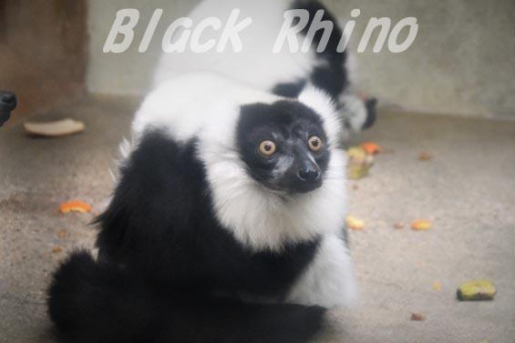 エリマキキツネザル 天王寺動物園