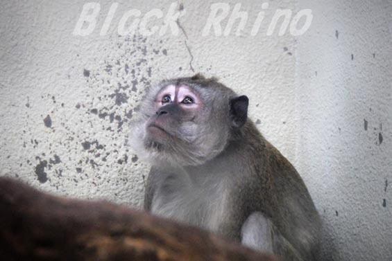 カニクイザル 天王寺動物園