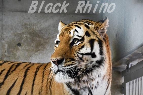 アムールトラ1 天王寺動物園