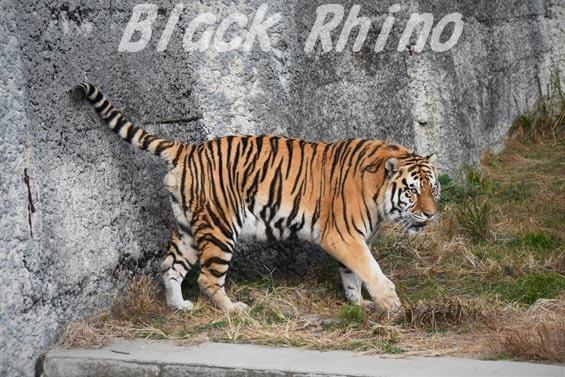 アムールトラ2 天王寺動物園
