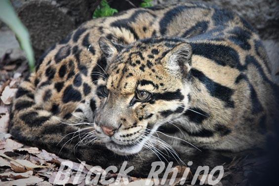 ウンピョウ1 天王寺動物園