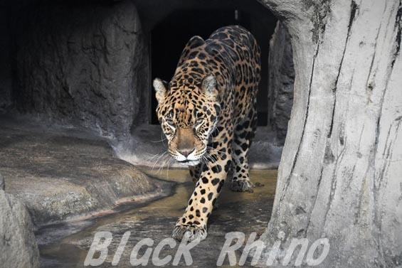 ジャガー1 天王寺動物園