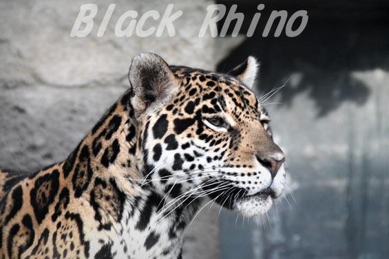 ジャガー2 天王寺動物園
