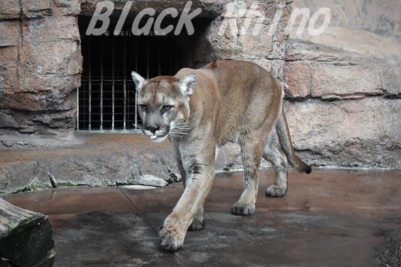 ピューマ2 天王寺動物園