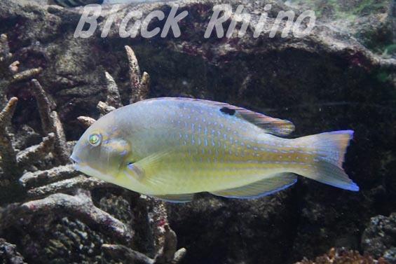 シロクラベラ2 板橋区立熱帯環境植物館