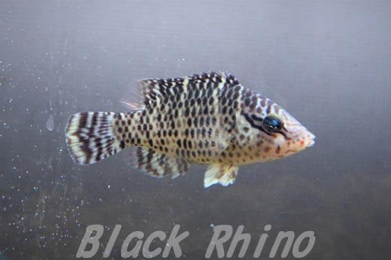 メガネモチノウオ 幼魚1 板橋区立熱帯環境植物館