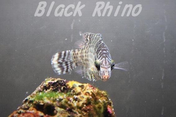メガネモチノウオ 幼魚2 板橋区立熱帯環境植物館