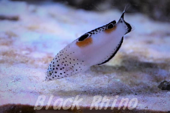 カンムリベラ 幼魚1 板橋区立熱帯環境植物館