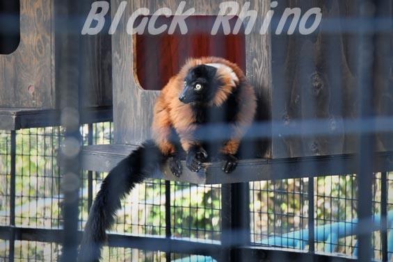 アカエリマキキツネザル1 野毛山動物園
