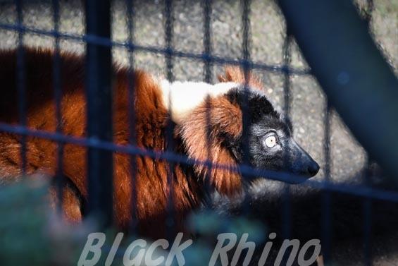 アカエリマキキツネザル2 野毛山動物園