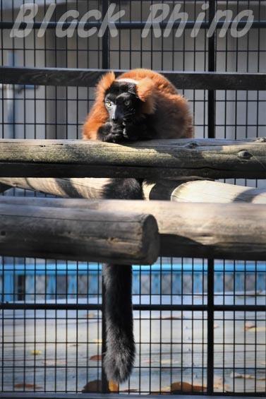 アカエリマキキツネザル4 野毛山動物園
