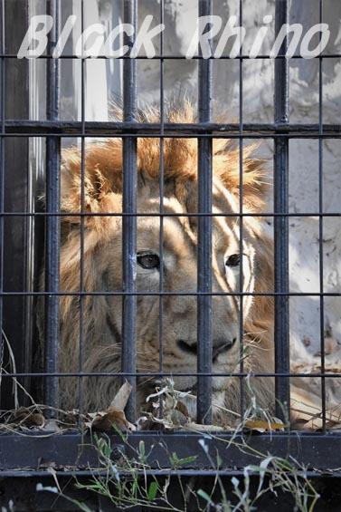 インドライオン1 野毛山動物園