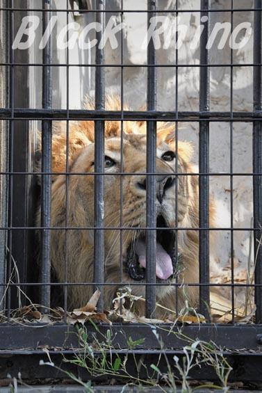 インドライオン2 野毛山動物園