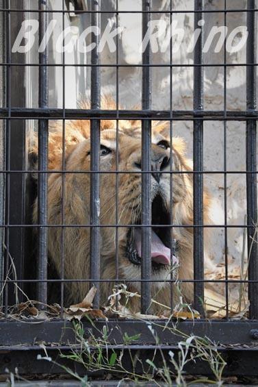 インドライオン3 野毛山動物園