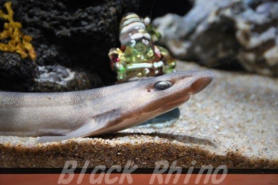 ナヌカザメ ヨコハマおもしろ水族館