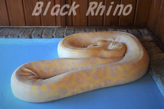 ビルマニシキヘビ1 東武動物公園
