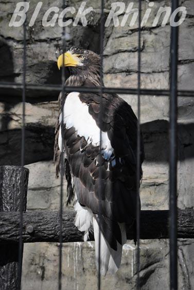 オオワシ 東武動物公園