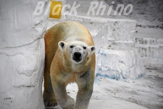 ホッキョクグマ イッちゃん 天王寺動物園