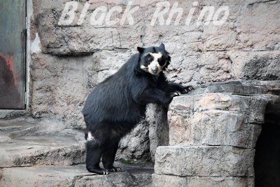 メガネグマ プッペ1 天王寺動物園