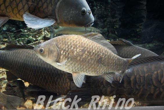 ゲンゴロウブナ 京都水族館