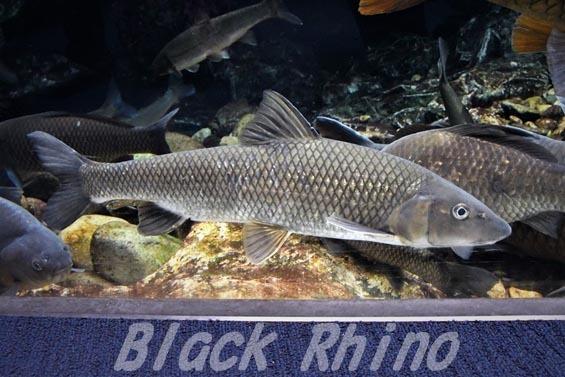 ニゴイ 京都水族館