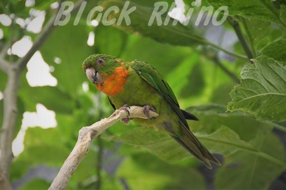 アカノドテリハメキシコインコ1 掛川花鳥園