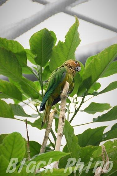 チャノドメキシコインコ1 掛川花鳥園