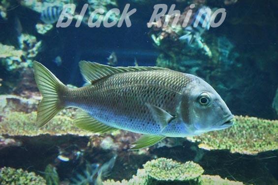 シロダイ1 東海大学海洋科学博物館