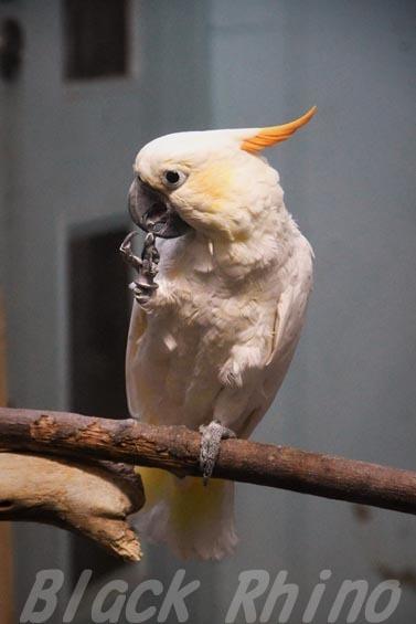 コキサカオウム1 上野動物園