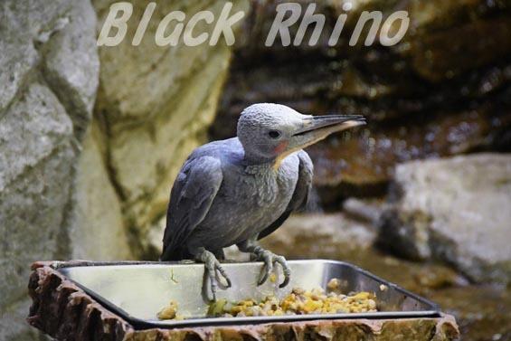 ボウシゲラ1 上野動物園
