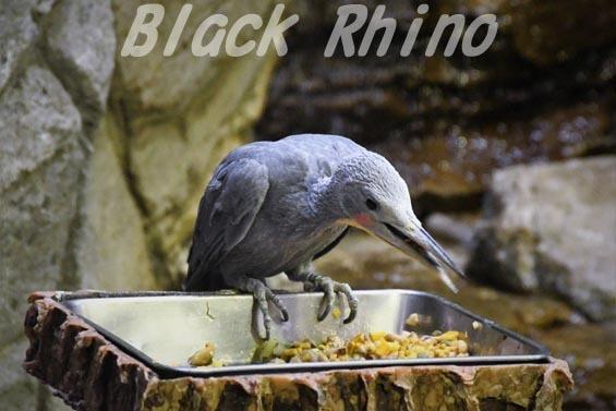ボウシゲラ2 上野動物園
