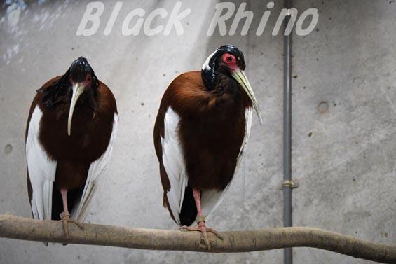 マダガスカルトキ1 上野動物園