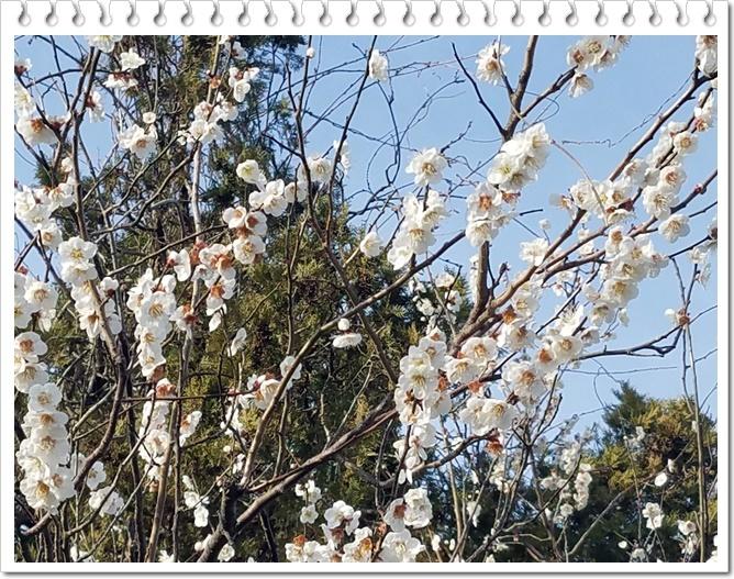 もうすぐ桜1-3