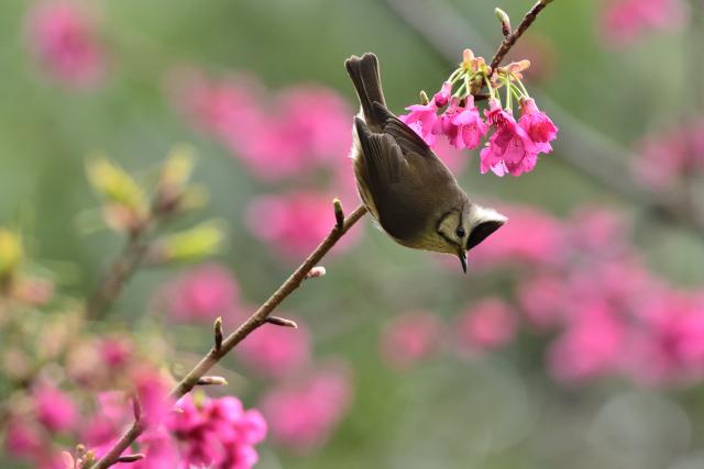春を告げる鳥(5)
