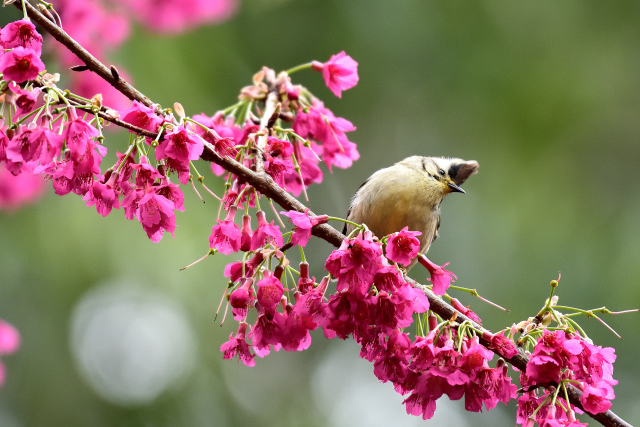 春を告げる鳥(4)