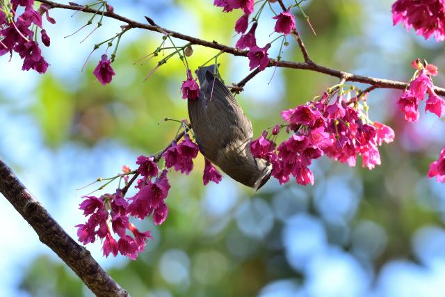 春を告げる鳥(3)