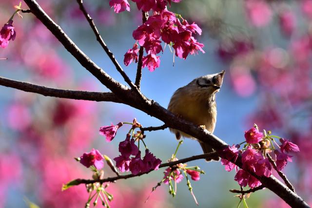 春を告げる鳥(1)