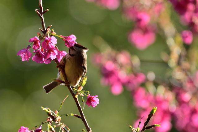 春を告げる鳥(2)