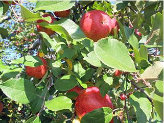 葉とらずリンゴ
