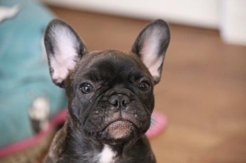 フレブル 子犬2017 飼い主さん募集 2
