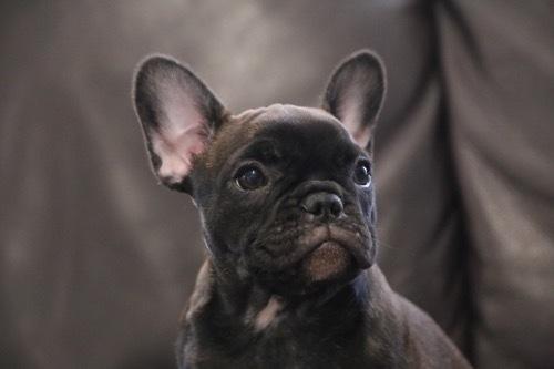 フレブル 子犬2017 飼い主さん募集 5
