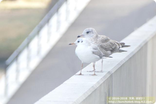 【ぽぽぴの野鳥】いとをかし、ユリカモメ。