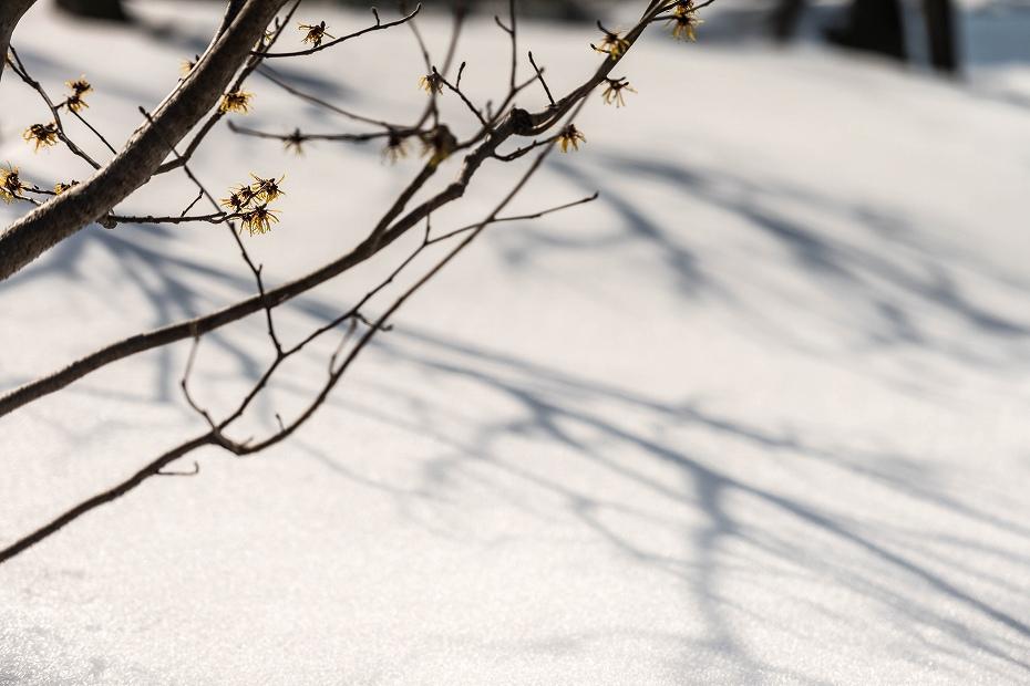 2018.02.20 兼六園の花 4 マンサク